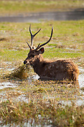 Indian Sambar, Rusa unicolor, male deer in Rajbagh Lake in Ranthambhore National Park, Rajasthan, India