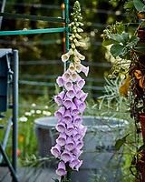 Foxglove flowers. Image taken with a Nikon 1V3 camera and 70-300 mm VR lens