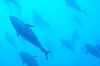 Atlantic Bluefin Tuna (Thunnus thynnus) Captive, Gozo, Maltese Islands
