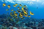 scuba diver and racoon butterflyfish or raccoon butterflyfish ( Chaetodon lunula ) Kaiwi Point, Kona, Hawaii, USA ( Pacific ) MR 356