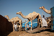 Camels from Somalia stiffly walk down the ramp from a truck at the Birqash Camel Market outside Cairo, Egypt, where camel broker Saleh Abdul Fadlallah works. (From the book What I Eat: Around the World in 80 Diets.) Domesticated since 2000 BC, camels are used less as beasts of burden now, and more for their meat. Because they can run up to 40 miles per hour for short bursts, dealers hobble one leg when they are unloaded at the Birqash market, forcing them to hop around on just three legs. They are marked with painted symbols to make them easier for buyers and sellers to identify. Both brokers and camels have a reputation for being surly, and the brokers don't hesitate to flail the camels with their long sticks to maintain their dominance.