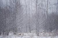 Red fox (Vulpes vulpes) Bialowieza forest, Poland