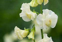 Lathyrus odoratus 'Winter Sunshine Cream' - Sweet pea