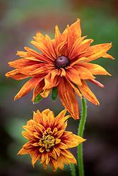Rudbeckia hirta 'Cherokee Sunset' - Coneflower, Black-eyed Susan