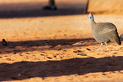 Helmeted guineafowl at lakeside, Namibia, Africa