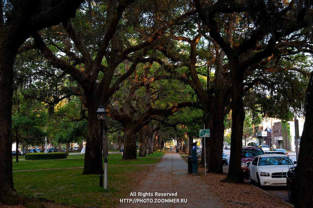 Canopy of live oak trees in Savannah, GA