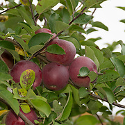 Apples ready for picking.