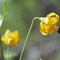 A Leopard Lily blooms in an alpine meadow.