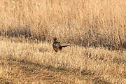 Rooster pheasant in spring breeding plumage