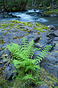 A lady fern (Athyrium filix-femina) emerges from rocks along the banks of the Salmonberry River. Spring, western Oregon. Native americans would use this fern to cover food, and the filddleheads in early spring.