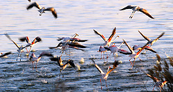 Friday, 27.06.08. Flamingoes at the Kamfer Dam near Kimberley. Picture Ian Landsberg
