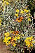 Monarch Butterfly, Danaus plexippus, El Rosario Nature Reserve, wings open, lifecycle metamorphosis orange pattern wing