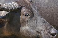 Asian Water Buffalo, Bubalus bubalis