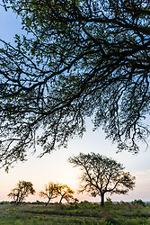 Sunrise and oak tree silhouettes, Hill Country between Blanco and Fredericksburg, Texas, USA