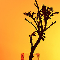 Daisy in vase silhouette.  warm colors