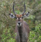 Portrait of a  male waterbuck (Kobus ellipsiprymnus). Arusha National Park. Arusha, Tanzania.