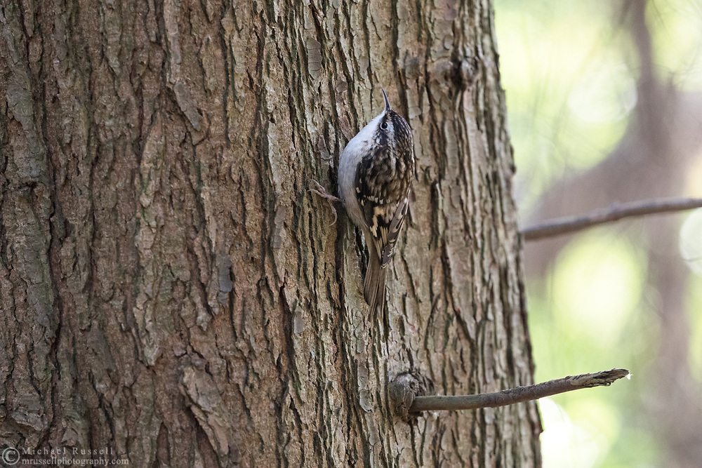 A Brown Creeper (Certhia americana) looking for insects in a tree trunk in Richmond, British Columbia, Canada.  Photographed from the Time Trail in Richmond's Richmond Nature Park.