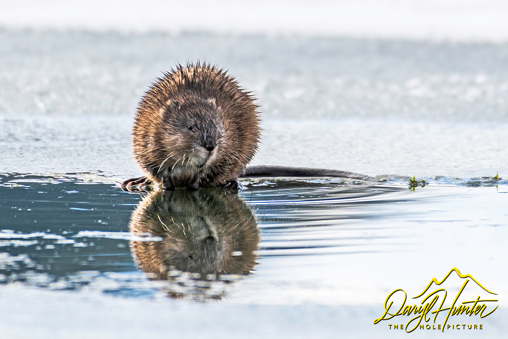 Muskrat Reflection. Nice of this little guy to come in close for a portrait while spending some time on the side of the Yellowstone.  The muskrat (Ondatra zibethicus), the only species in genus Ondatra and tribe Ondatrini, is a medium-sized semiaquatic rodent native to North America and an introduced species in parts of Europe, Asia, and South America. The muskrat is found in wetlands over a wide range of climates and habitats.