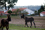 One of the goals of the company is the reproduction of donkeys in order to ensure the continuity of the species.<br /> It is said that Cleopatra always took her bath in donkey milk to keep her beauty eternal. Far beyond the aesthetic benefits, the donkey milk is in the animal world the closest to the human maternal milk and was used as it´s substitute until the twentieth century. More recent findings indicate that the donkey milk can also be consumed by children allergic to cow's milk.<br /> Despite all this, the great utility of the donkey had always been their mobility and strength, with the mechanization of agriculture and the development of transportation, the donkey began to be used less and less. In Portugal, in the twentieth century, a very partircular kind of donkey came in the process of extinction, the race of Miranda.<br /> Four years ago two businessmen in Portugal decided to merge these two factors and create Naturasin, a company dedicated to preserving the kind of Miranda by producing she donkey milk and selling it to the cosmetic industry.<br /> The small farm in Couco a village 100 km from Lisbon is this days selling milk to countries as far away as South Korea, it has 50 she donkeys and in 2011 were born in the farm 17 copies of the endangered species. In Portugal. 20/01/2012 NO SALES IN PORTUGAL