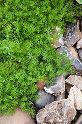 Chamaemelum nobile (Chamomile)