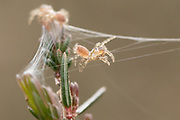 Purse web spiderlings (Atypus affinis) construct silk rigging in heather. Surrey, UK.