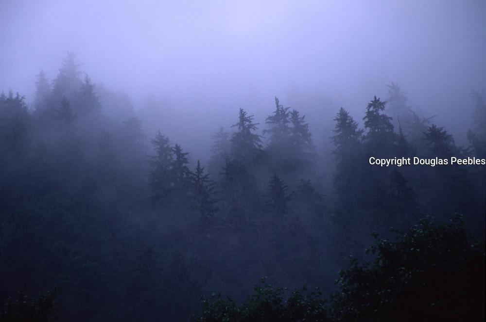 Fog in Evergreen Trees<br />