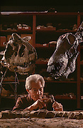 """Paleontologist prepares, Carnotaurus (left) and Amargasaurus (right), a """"jibbed"""" sauropod from the Argentina at the Museo de Ciencias Naturales de Buenos Aires."""