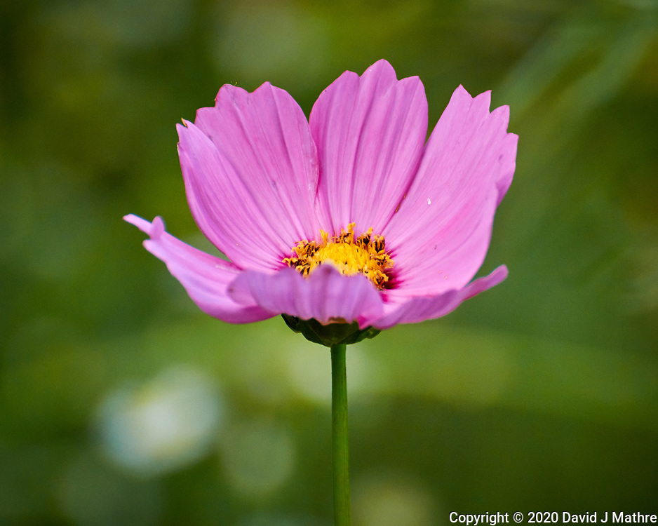 Cosmos. Image taken with a Nikon N1V3 camera and 70-300 mm VR lens