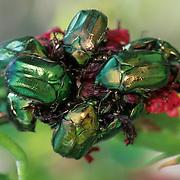 Emerald Beetles (Protaetia pryen). Midway Islands, Hawaii