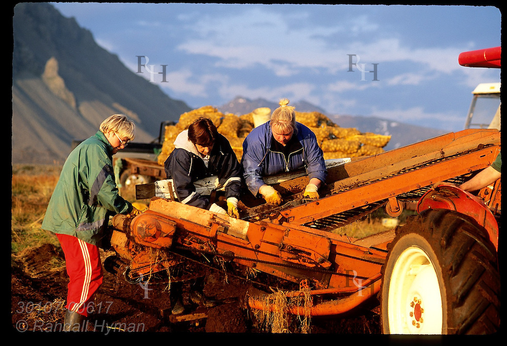 Farmer and farmwives harvest potatoes in loamy soil along south coast of Snaefellsnes peninsula on a September eve; Iceland.