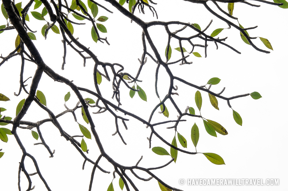 Green leaves and dark branches are silhouetted against a white cloudy sky.