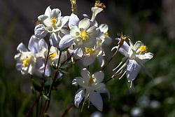 Columbine Bouquet, wildflowers of Wyoming