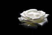 white rose on black background