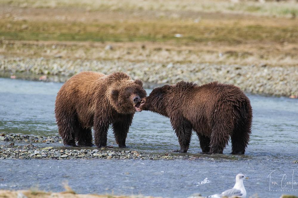 brown bear ~ Ursus arctos ~ two cubs ~ Katmai National Park, Alaska ~ www.adventurequestX.com