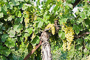 A cluster of green grapes ripening on a grapevine