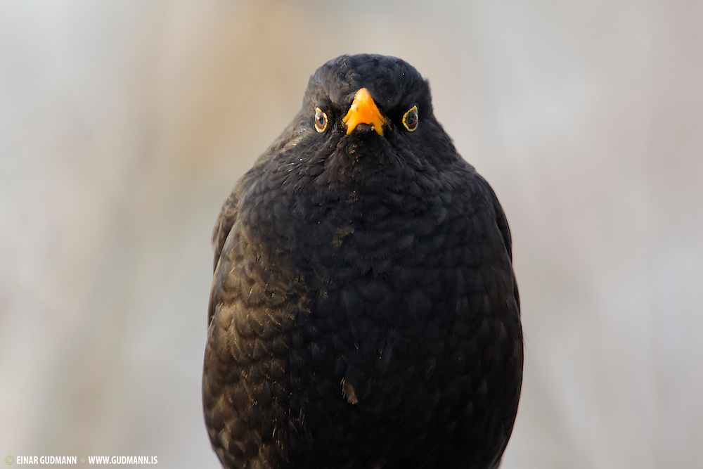 The Common Blackbird, Turdus merula, is a species of true thrush. It is also called Eurasian Blackbird (especially in North America, to distinguish it from the unrelated New World blackbirds.