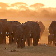 African elephant (Loxodonta africana) herd. Amboseli National Park, Kenya, Africa