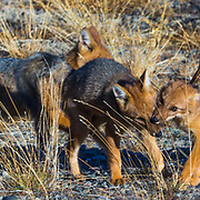 Andean Fox (Lycalopex culpaeus) juveniles playing on the side of a road in Los Glaciers National Park near El Chalten, Argentina.