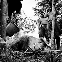 Two FARC recruits prepare to butcher a pig they have just slaughtered for the camps kitchen.<br />
