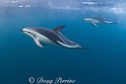 dusky dolphins, Lagenorhynchus obscurus, underwater, Kaikourua, South Island, New Zealand ( South Pacific Ocean )