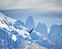 Andean Condor soaring while traveling from Estancia Lazo to Hosteria Lago Grey. Torres del Paine National Park, Chile. Image taken with a Nikon D3s camera and 70-300 mm VR lens (ISO 200, 300 mm, f/9, 1/320 sec).