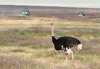 Male Common Ostrich, Struthio camelus, watches as two safari vehicles pass in the background. Ngorongoro Crater, Ngorongoro Conservation Area, Tanzania