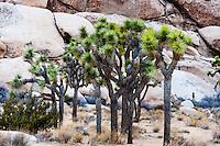 United States, California, Joshua Tree National Park. Hall of Horrors. Joshua trees.