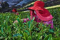 Japon, île de Honshu, région de Shizuoka, recolte du thé dans des chmaps couverts // Japan, Honshu, Shizuoka, tea picking on the covered fields