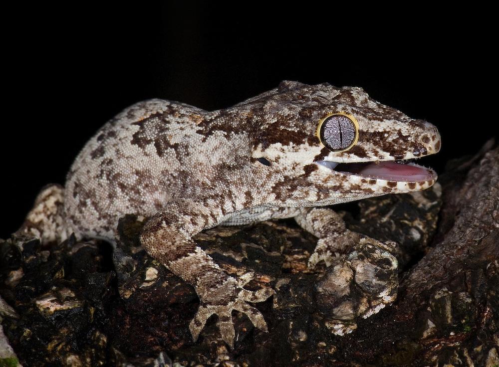 New Caledonia bumpy gecko, gargoyle gecko<br /> (Rhacodactylus auriculatus