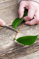 Taking leaf bud cuttings from a camellia. Trimming cutting