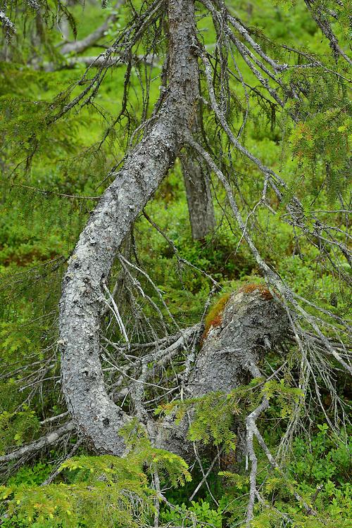Spruce tree, Picea abies,near the Årrenjarka lodge near Kvikkjokk and the Laponia UNESCO World Heritage Site, Greater Laponia rewilding area, Lapland, Norrbotten, Sweden