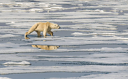 Polar bear (ursus maritimus) on drifting ice in Storfjorden, Spitsbergen, Svalbard, Norway