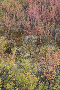 Fall colors of dwarf birch in the arctic tundra, Denali National Park, Alaska