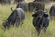 Group of buffalos, Masai Mara, Kenya
